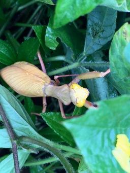 Female Hierodula majuscula, yellow color-morph