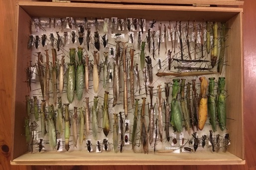 Schmitt Box filled with mantises ready to be accessioned into the CMNH