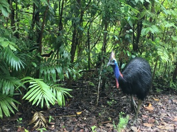 A beautiful cassowary emerging from the rainforest